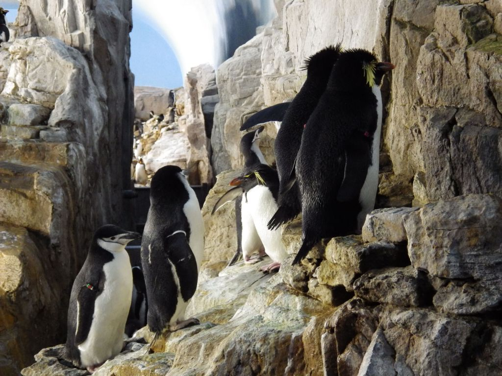 Penguins begin settling into their roosting locations