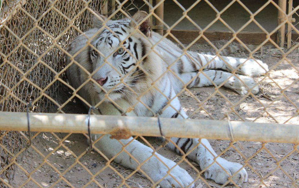 A White Bengal at Tiger Creek Wildlife Refuge