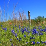 Bluebonnets in bloom near Brenham
